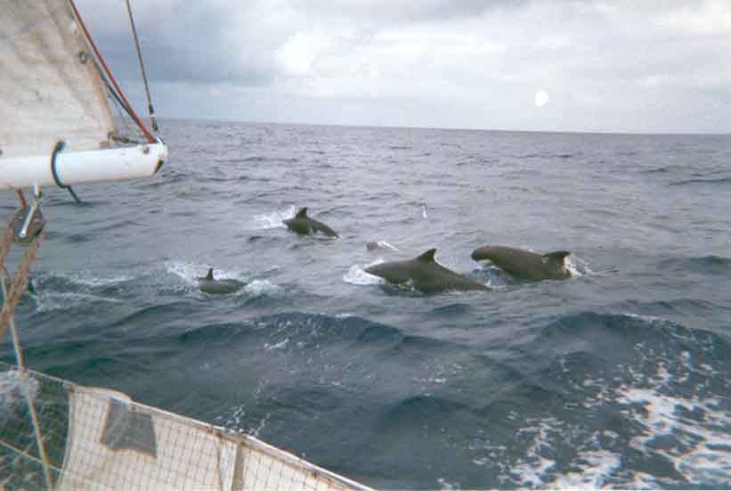 Dauphins accompagnateurs